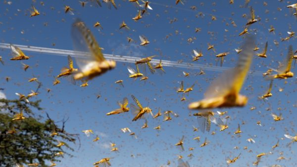 Crops destroyed as India faces 'worst locust attack in 27 years' |NationalTribune.com